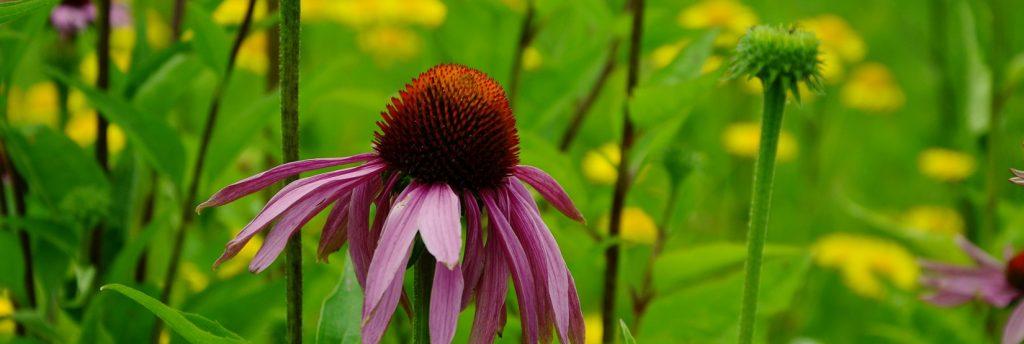 A coneflower in a green field.